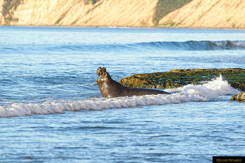 The bellows of this bull elephant seal can be heard above the crashing waves.