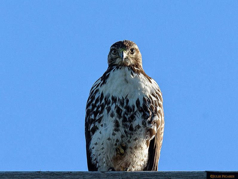 Juvenile Red Tail Hawk watches from his perch.