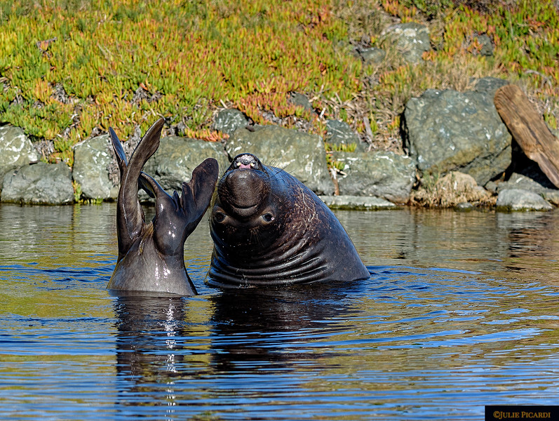 Young, playful elephant seal shows off his flexibility in a small lagoon at Drake's Beach.