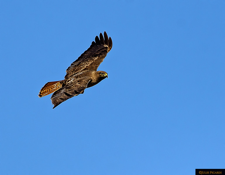 A red tail hawk in Point Reyes National Seashore searches for breakfast.
