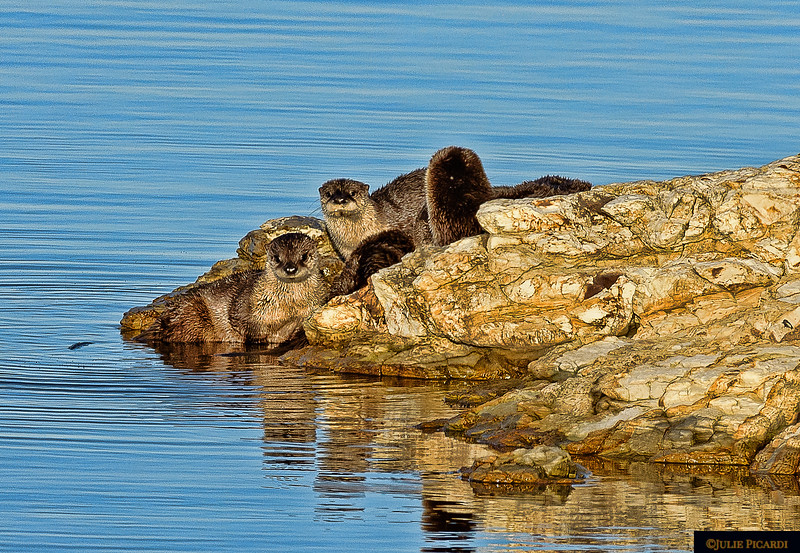 These river otters in Pt. Reyes National Seashore are enjoying family time on the rocks after a morning of fishing.