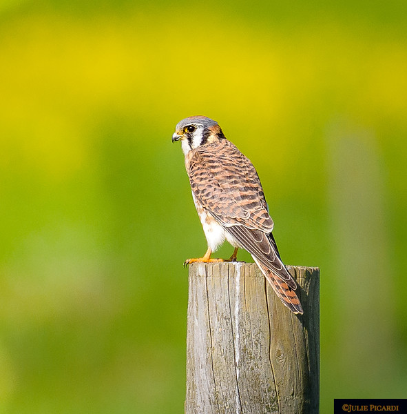 Shy kestrel poses briefly before taking flight in Point Reyes, CA.