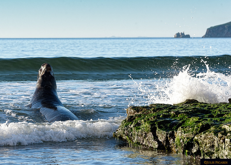 Elephant seal bull confronts the rough surf in search of breakfast.