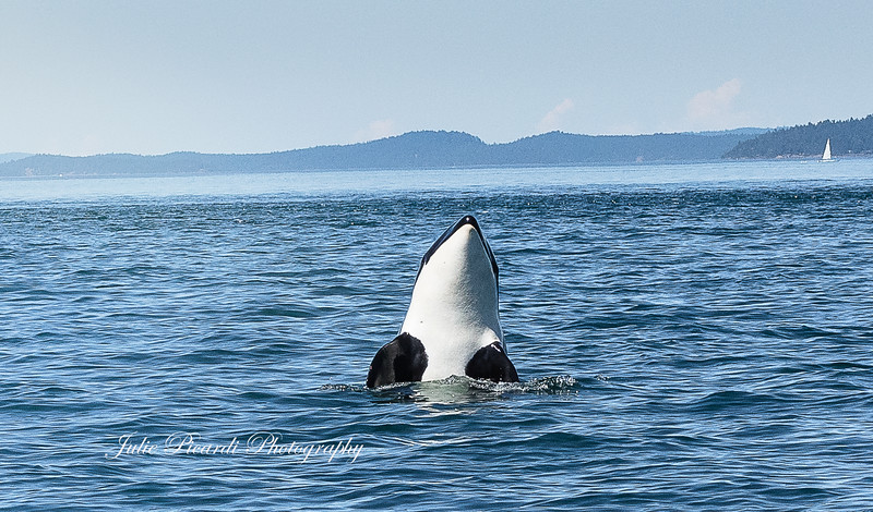 Spy hopping in the middle of the Salish Sea.