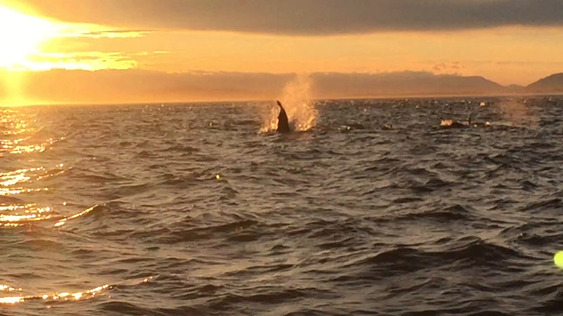 Orcas playing and feeding at sunset