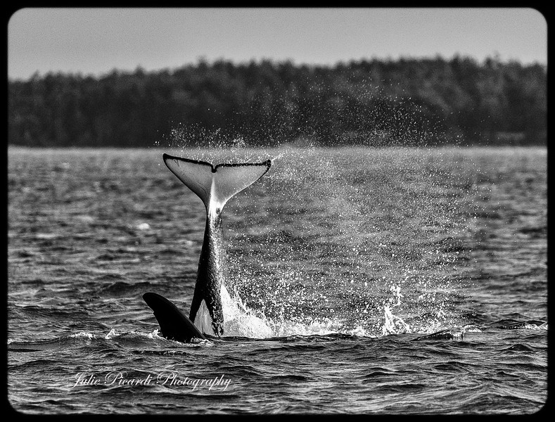 Joyful headlong dive of an Orca after a kill.