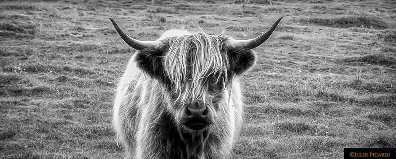 Highland Cow B/W Landscape