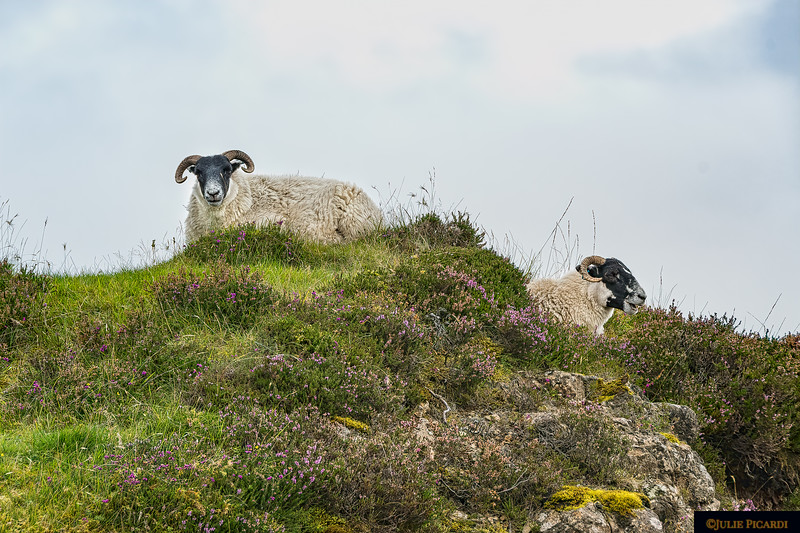 Lots of sheep on the island