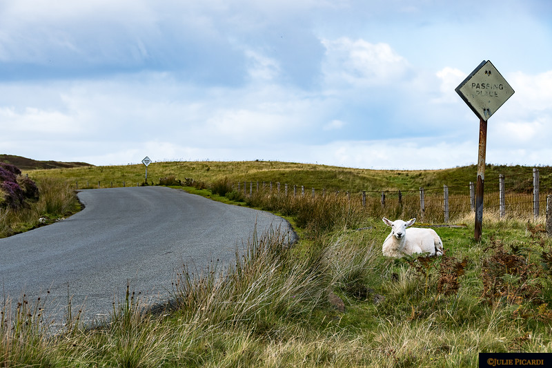 Just another sheep beside the road