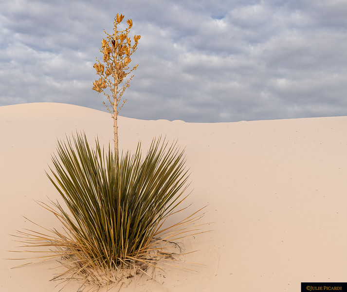 Lone Yucca Plant