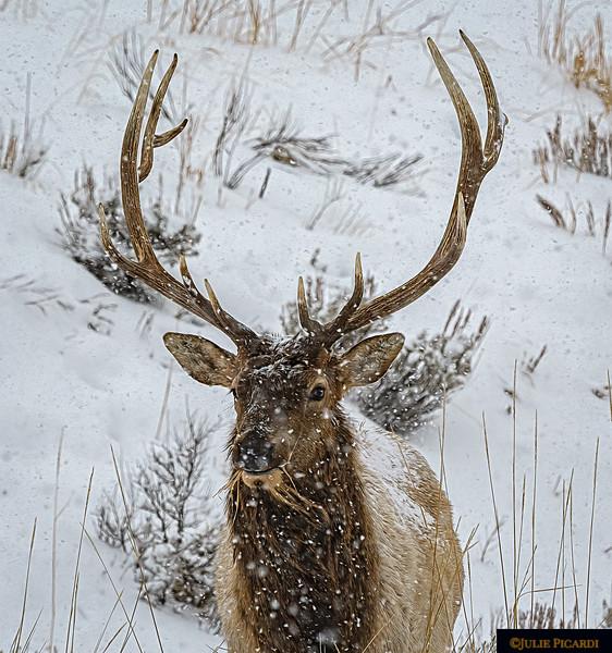 Elk Bull Foraging in the Snowstorm
