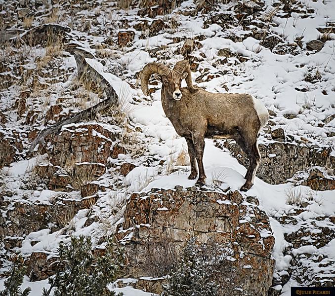 Artistic Portrait of a Bighorn Ram