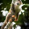 Amazonian squirrel monkey