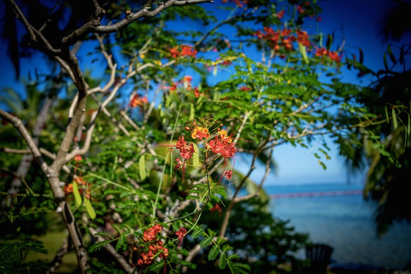 Flamboyant flowers, Moorea, French Polynesia, March 2017