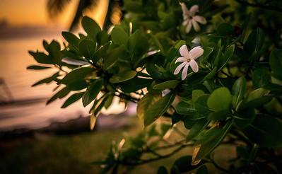 Tiare Tahiti flower, Moorea, French Polynesia, March 2017