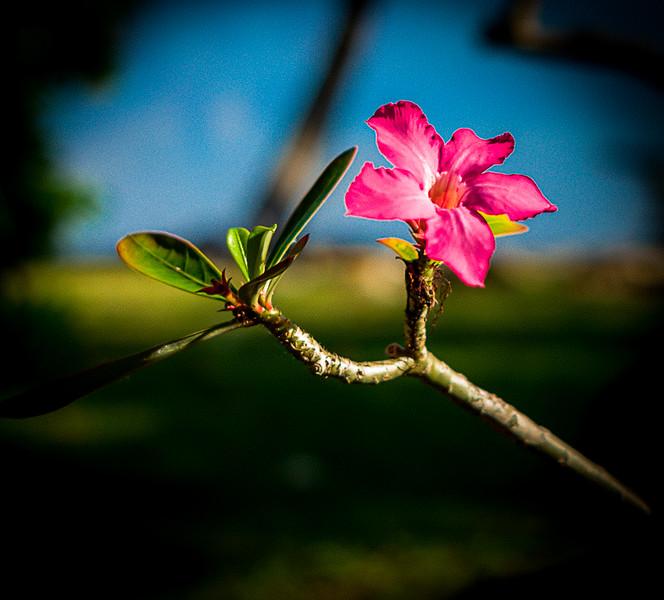 Bankock Flower, Moorea, French Polynesia, March 2017