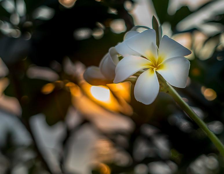 Tipanier Flowers, Tahiti, French Polynesia, February 2017