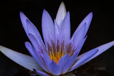 Blue Tropical Water Lily