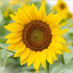 Adult Sunflower, White Background