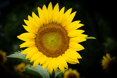 Adult Sunflower