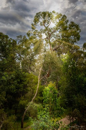 Eucalypt Forest -  Wombolano Reserve