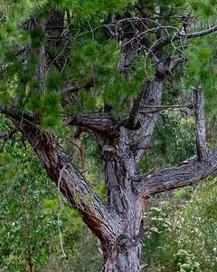 Old Pruned Pine III