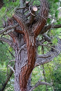 Old Pruned Pine