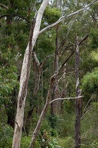 Standing Dead Gums -  Wombolano Reserve