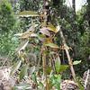 SAJ0431 Trimenia papuana