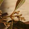 SAJ0424 Trimenia papuana