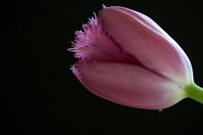 tulip-5