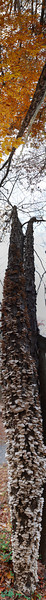 """Vertical panorama of some mushrooms on a tall tree.<br /> View it in full resolution here: <a href=""""http://photos.kevinworkman.com/Pictures/2011/i-Qb6KKQh/1/O/TreePanorama.jpg"""">http://photos.kevinworkman.com/Pictures/2011/i-Qb6KKQh/1/O/TreePanorama.jpg</a>"""