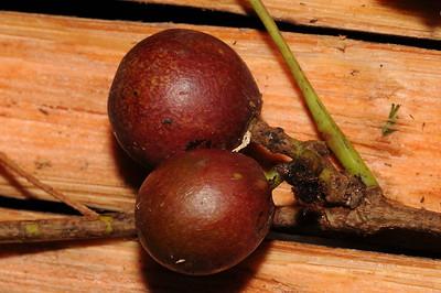 Leeaceae-Vitaceae