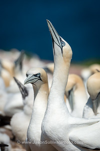 Paired Gannets
