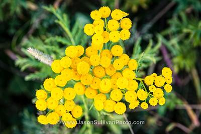 Sun Yellow Blooms