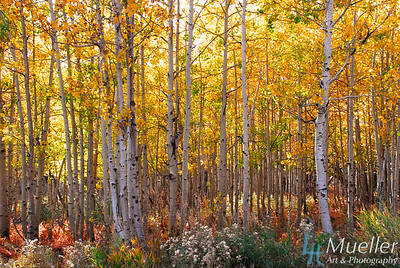 Aspens& Groundcover Fall