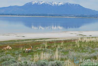 Pronghorn near Great Salt Lake, UT.