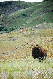BuffaloVert1 copy