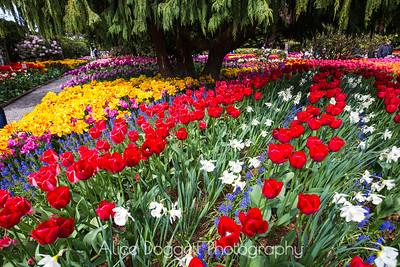Skagit Valley Tulip Festival 03, Mt. Vernon, WA