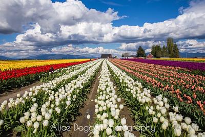 Tulip Town, Skagit Valley Tulip Festival, Mt. Vernon, WA