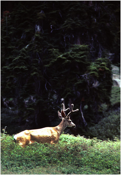 Buck in Velvet, Sequoia Park