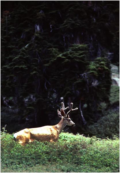 Buck in Velvet, Sequoia Park