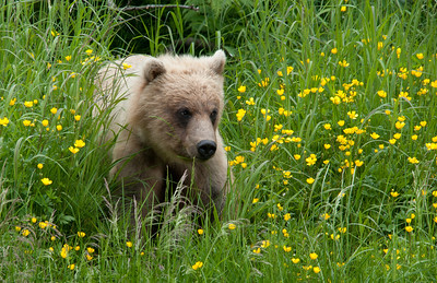 Buttercup brown bear