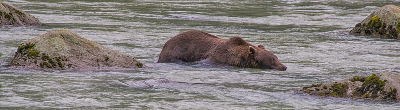 """I'll just hide among these rocks ... no one will notice me here!"" -Speedy the bear, on the Chiloot River, Haines, Alaska"