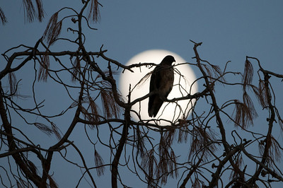 Red Tail Hawk and Moon