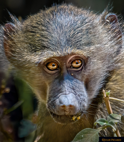 Soulful Eyes of a Baby Baboon