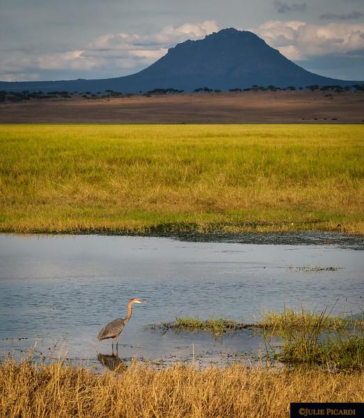 A Goliath Heron Hunts in Front of Mt. Oldonyo Sambu