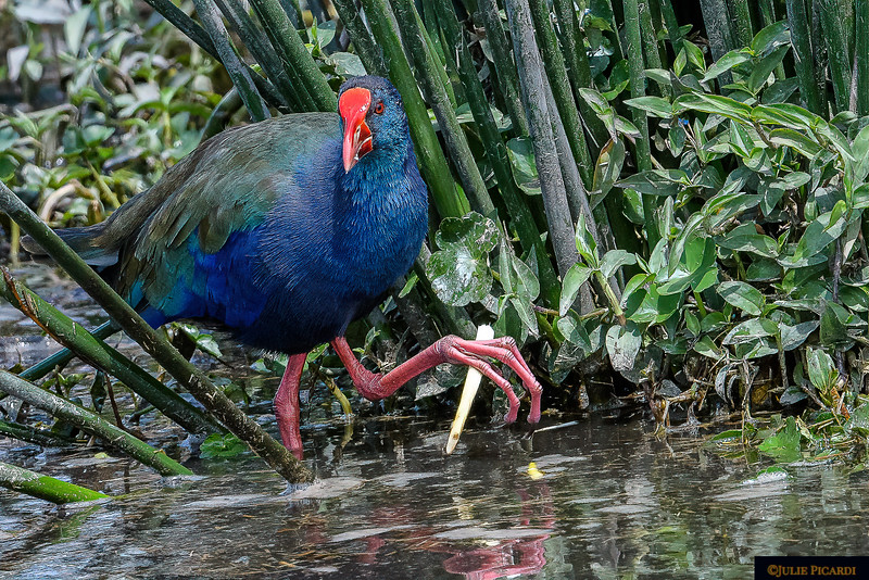 An African Purple Swamphen Looks Our Way