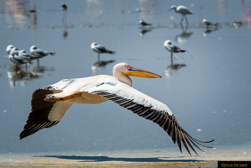 Great White Pelican Skims the Sandy Shore of Lake Manyara