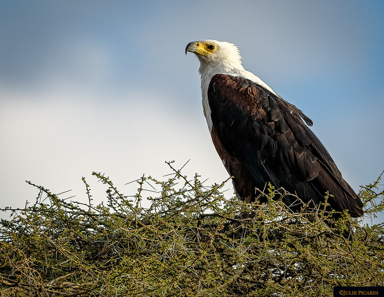 Nesting African Fish Eagle